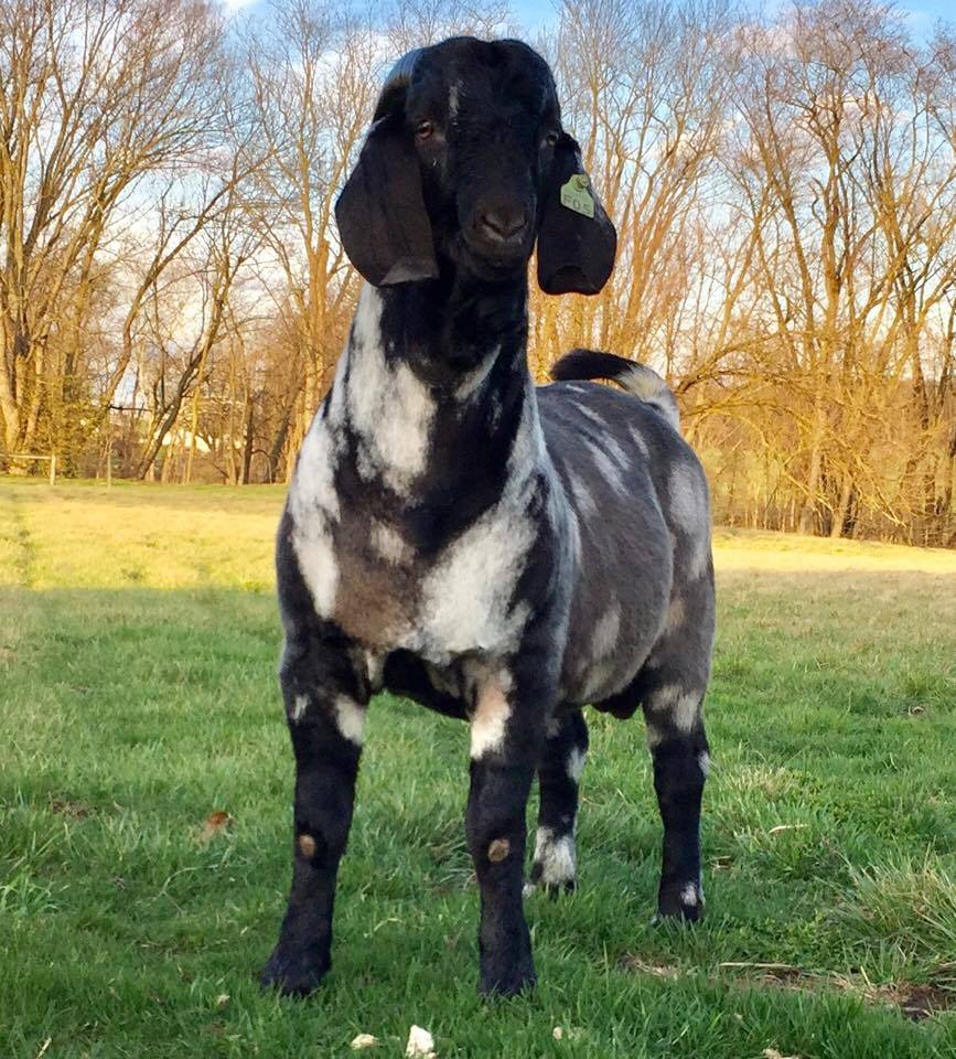 Lot 65 in the Wild and Wonderful Boer Goat Sale