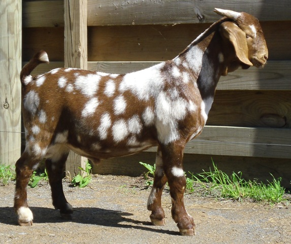 True Colors Boer Goat Sale Lot #42 ~Red & White Spotted Buck