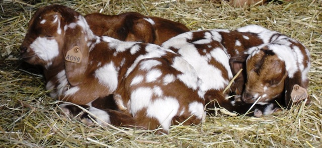 Spotted Boer Goat Buck Kids at Loschs Riverview Farm